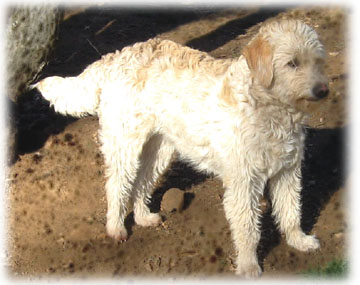 Gallery For > Full Grown Miniature Labradoodle